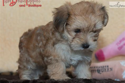 Do Morkie Puppies Shed by Petunia Morkie Yorktese Puppy For Sale Near West Palm