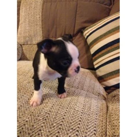 boston terrier puppies for sale cincinnati ohio boston terrier puppies and dogs for sale and adoption freedoglistings