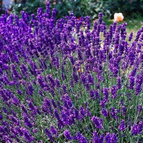 House Plant by Lavandula Angustifolia Hidcote Blue Lavender