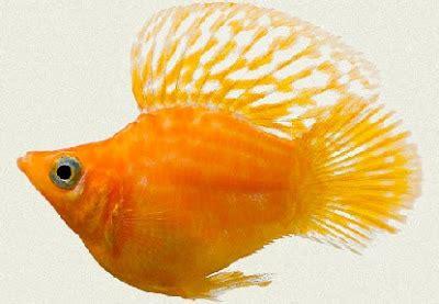 Harga Pakan Udang Gold Coin tips melakukan budidaya ikan balon molly
