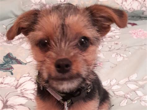 jackhuahua puppies for sale in us jackhuahua shitzorkie puppy for sale sheffield