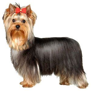 yorkie puppy grooming styles 1000 ideas about terrier haircut on terriers yorkie