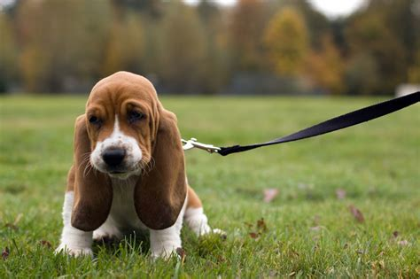 hound dogs breeds basset hound breed pictures pictures