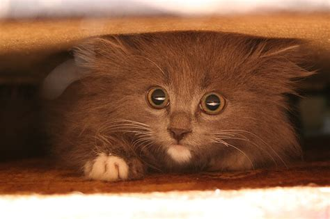 Cat Hiding Bed by 6 Things You Can Do To Help Your Nervous Cat