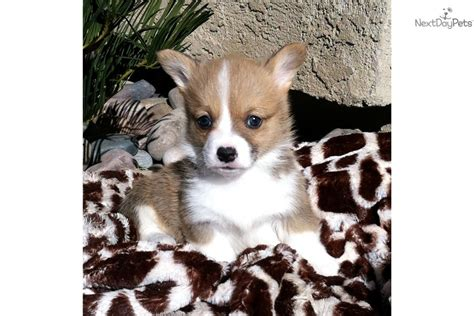 corgi puppies for sale los angeles cardigan corgi puppies for sale in los angeles