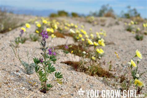california desert flowers the heart of the mojave more early spring california