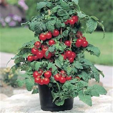 patio tomato tomato patio f1 hybrid egmont seed company ltd