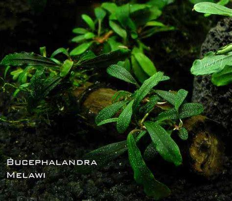 aquascape tanpa co2 8 tanaman aquascape tanpa inject co2 atau low co2 pemula