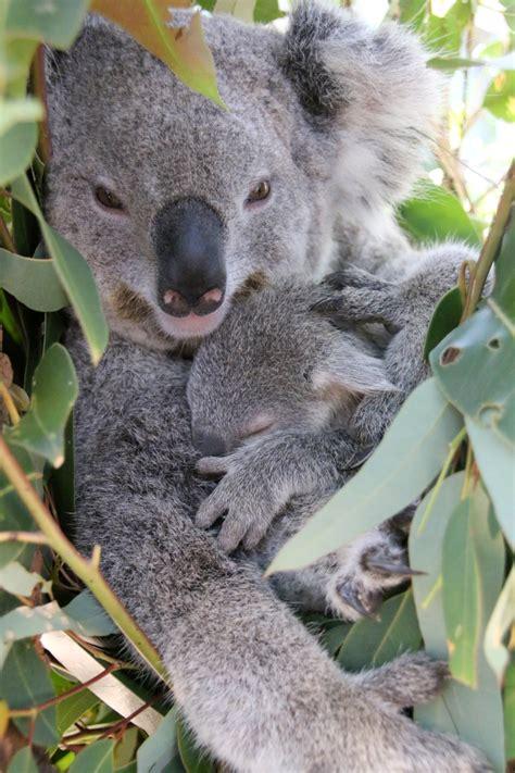 female koala pouch two koala joeys emerge at taronga zoo zooborns