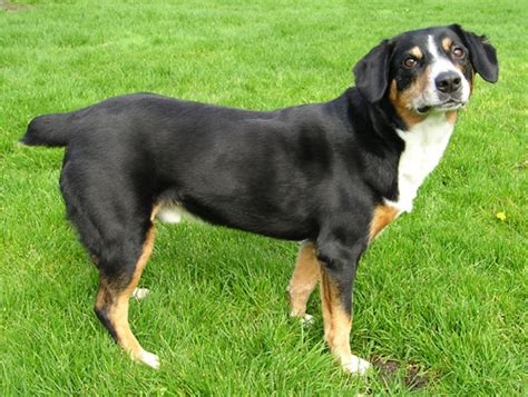 entlebucher mountain puppies picture 3 of 4 entlebucher mountain pictures images animals a z animals