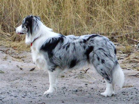 puppies with blue for sale border collie blue merle puppies for sale