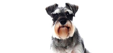puppies reviews miniature schnauzer grooming chart upcomingcarshq