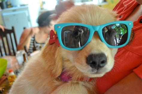 puppies wearing sunglasses pin puppies wearing sunglasses on