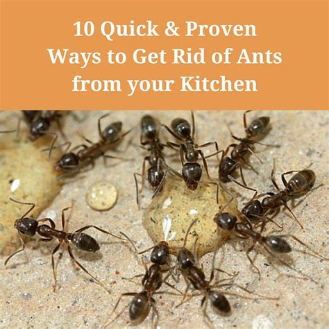 ant pest control in homes get rid of ants from your kitchen