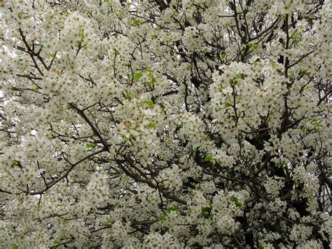 file white flowers everywhere blooming tree west