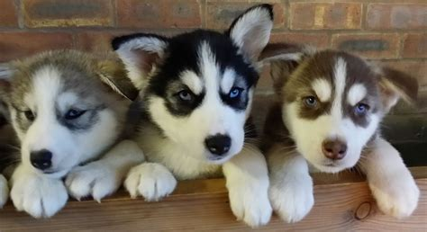 husky mix puppies for sale lab spitz mix breeds picture