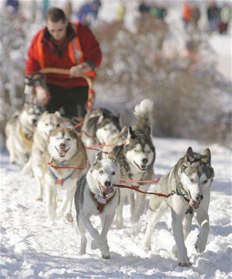sled commands tlc turns neglected dupage husky into team leader dailyherald