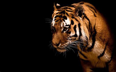hd wallpaper for android tiger tiger wallpaper hd wallpup com