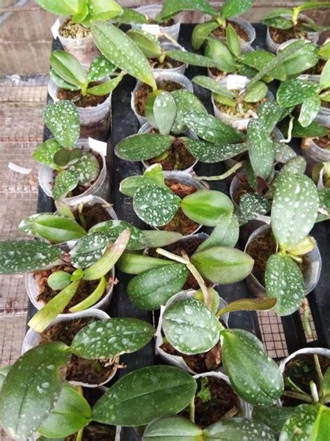 Bibit Anggrek Seedling seedling anggrek bulan phalaenopsis warna acak