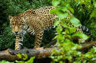 Jaguar In Forest Petition Jaguars Or Cattle The Los Chimalapas
