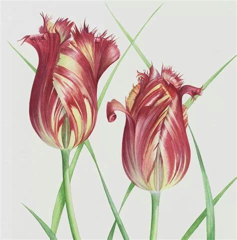 billy showells botanical painting 1844484513 billy showell botanical art showell tulip and art