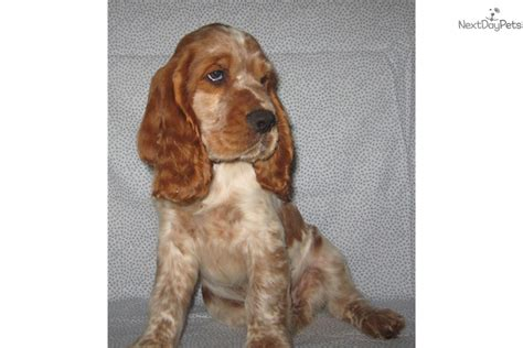 springer spaniel puppies near me springer spaniel puppy for sale near greenville upstate south carolina