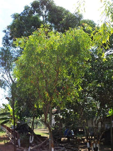 Pohon Minyak Kayu Putih walabi minyak kayu putih dari taman nasional wasur