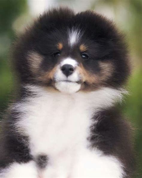 sheltie puppy 1000 images about sheltie s my favorite dogs on