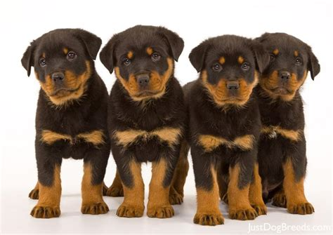 are there different types of rottweilers small breeds a to z complete list breeds picture