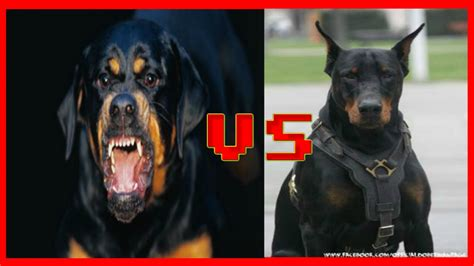 compare rottweiler and doberman doberman vs rottweiler pelea