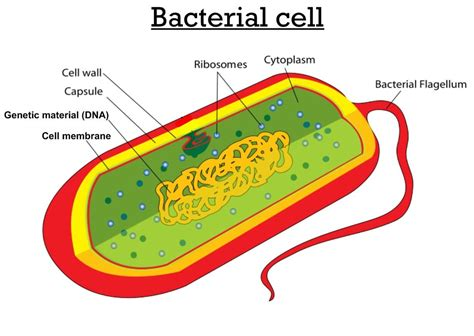 diagram bacterial cell bacterial cell diagram quotes