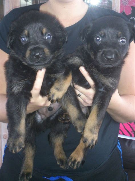 rottweiler x german shepherd puppies for sale last 2 pups rottweiler x german shepherd puppies wednesbury west midlands pets4homes