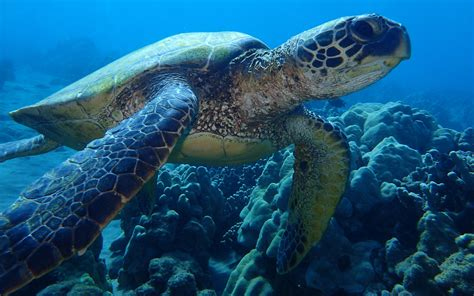 Turtle Sea sea turtle bottom view www pixshark images