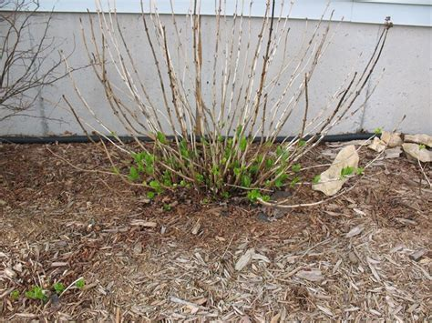 potare le ortensie in vaso potatura ortensie dopo fioritura ortensia hidrangea