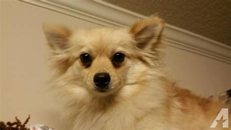 pomeranians for sale in alabama pomeranian for sale in phenix city alabama classified americanlisted
