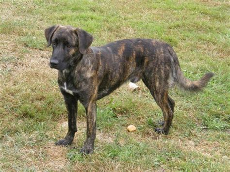 brindle colored dogs brindle breeds top 12 most popular mentions