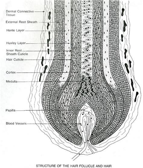 cross section of hair follicle world hair research 187 scalp cross section