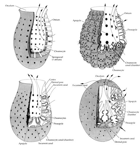 diagram of sponge azure vase sponge nervous system