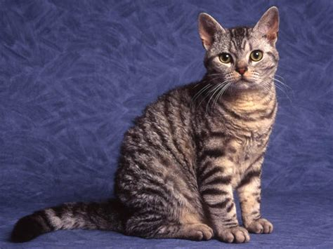 American Wirehair Cat Info, History, Personality, Kittens