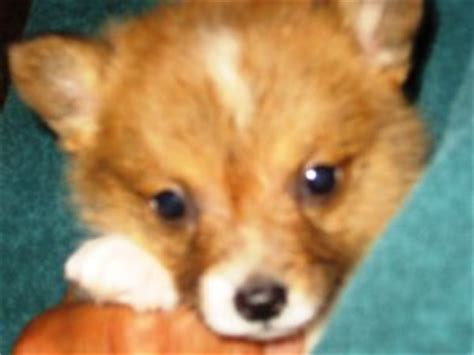 corgi puppies for sale nm pembroke corgi puppies for sale