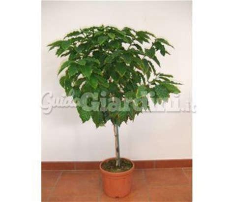 pianta di caffe in vaso pianta in vaso caffe arabica