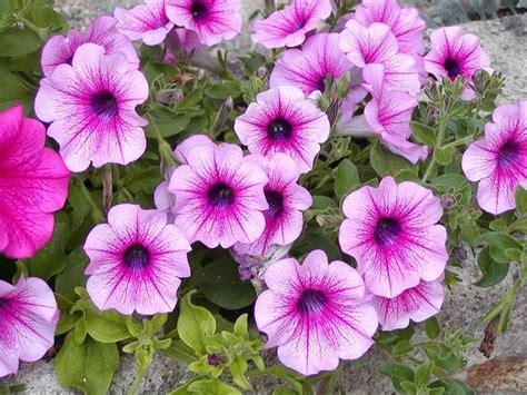 surfinie fiori piante da balcone piante da terrazzo caratteristiche