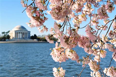 cherry blossom festival dc farewell cherry blossoms d c says goodbye to brief bloom