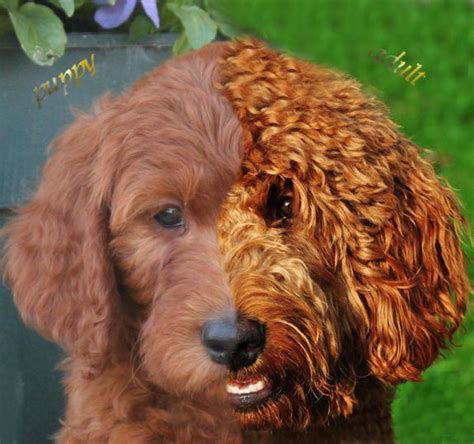 21 Best Images About Goldendoodle Puppies On