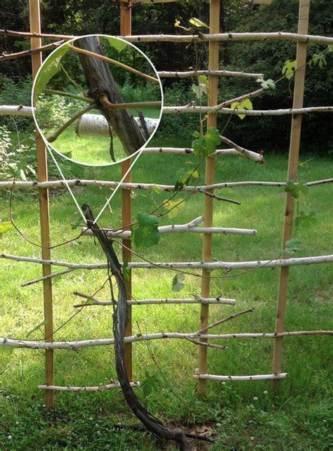 concord grape vine transplant pruning