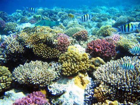 gambar terumbu karang   beragam pernik dunia