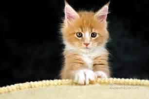 maine coon chats de papier peint maine coon beau fond d