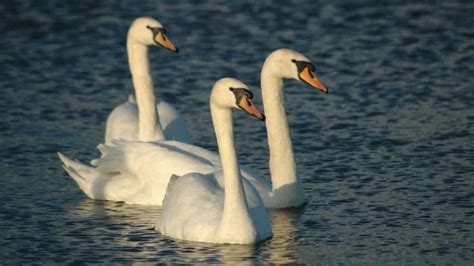 Swan Aq what do you call a of swans reference