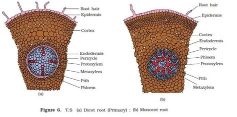 cross section of a monocot root botony test 3 review roots at northwest florida state