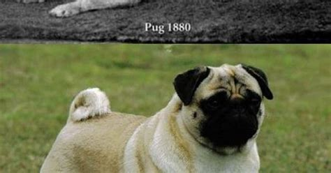 what pugs looked like before selective c 1880 rebrn what pugs looked like before selective selective and animal